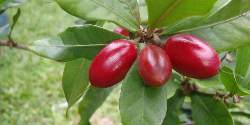 La fruta milagro es un sustituto excelente del azúcar (Wikicommons)