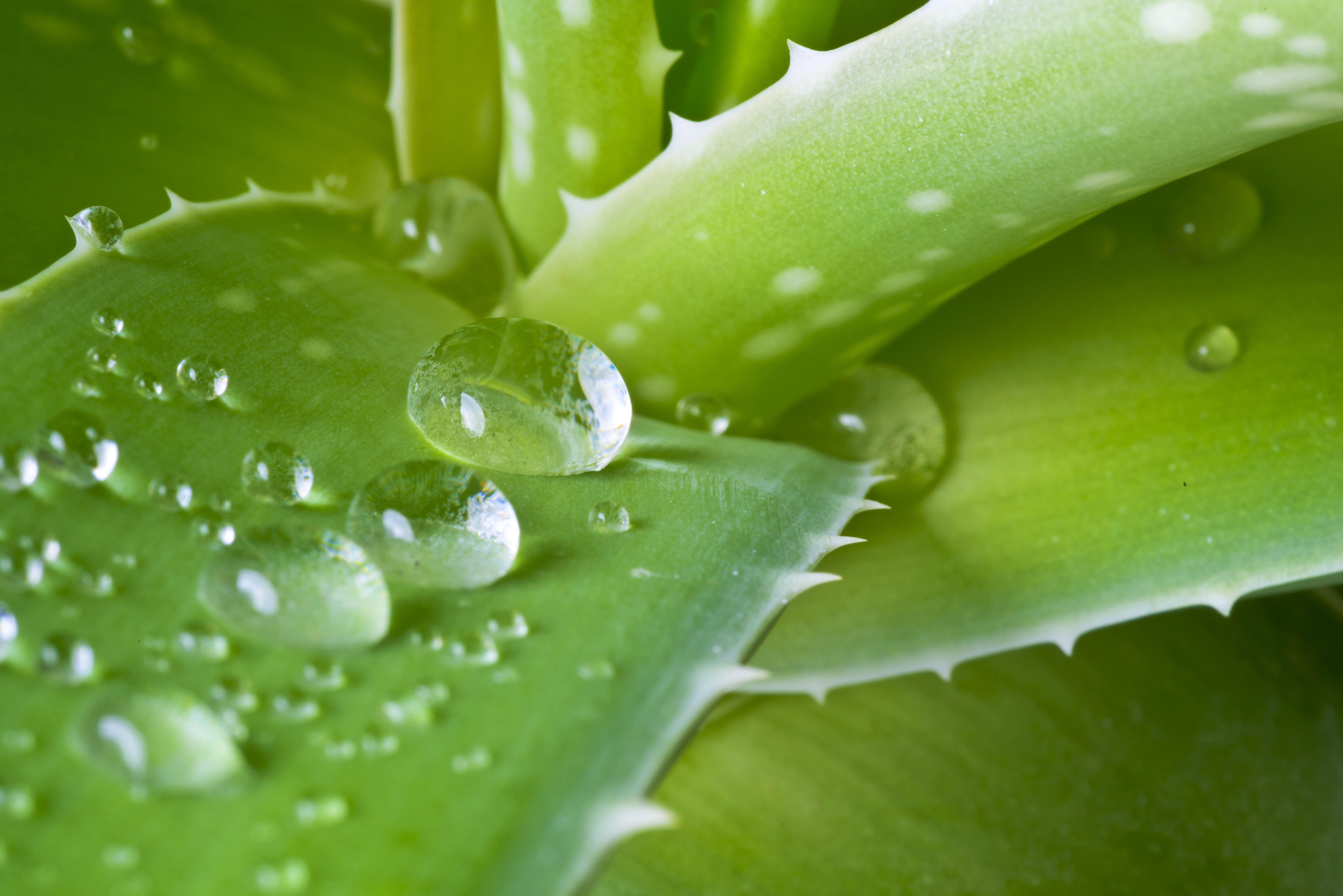El líquido del aloe vera nos ayudará a quitar el olor de sudor (iStock)