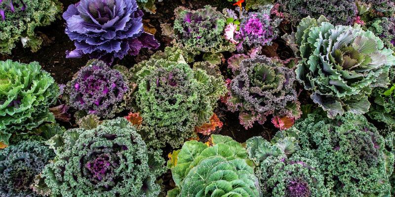 El kale y otras crcíferas aportan vitamina K además de calcio. (Pixabay)