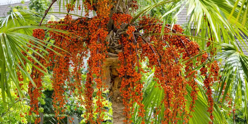 Resultado de imagen para aceite de palma